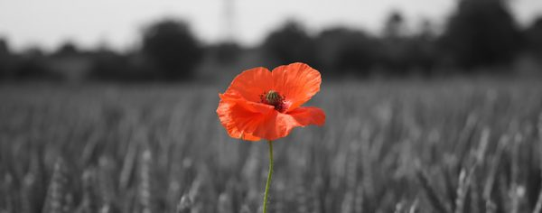 The story of the poppy