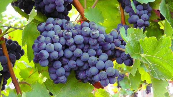 Bank Top Church@ 10:30, 2nd May 2021- Come and hear about the true Vine…